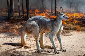 Photo sur Toile Kangaroo Australia fires: 'Apocalypse' comes to Kangaroo Island