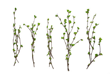 Fototapeta white background branches small leaves spring / isolated on white young branches with buds and leaves, spring frame obraz