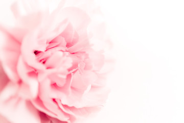 Pink large peony bud or cloves on a white background as a blank for advertising text
