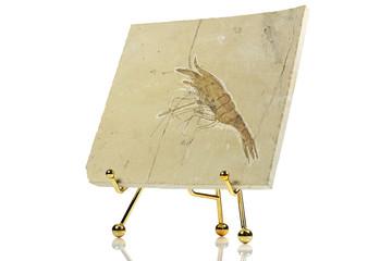 Aeger libanensis shrimp fossil from Hadjoula, Lebanon