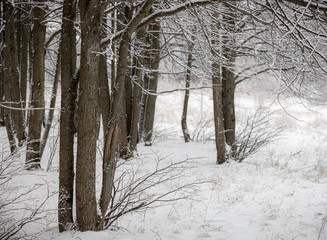 Photo of nature with snow-covered trees and inclined branches from the wind