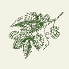 Hops plant with leaves in vintage style. Engraved monochrome sketch for banner or logo, beer or book. Vector illustration in doodle retro style. Hand drawn outline of herb.