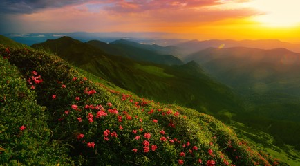 scenic summer sunrise nature image, picturesque morning sunrise scenery, amazing blossom pink summer flowers on the hills of mountains, awesome floral morning background, Carpathians, Europe landscape