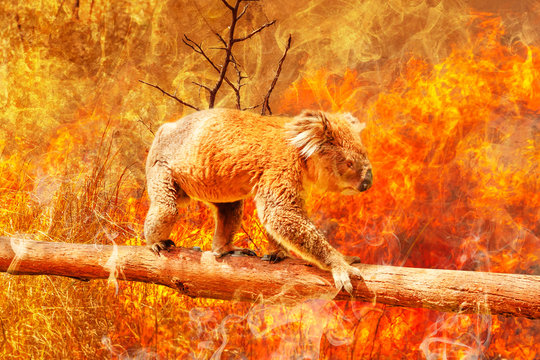 Koala bear on eucalyptus branch escape from australian bushfires in 2019 and 2020. Conceptual: save koala, global warming, natural disaster, climate change. Koala survival at risk.