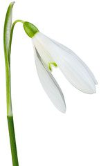 Common Snowdrop Galanthus Nivalis Cutout