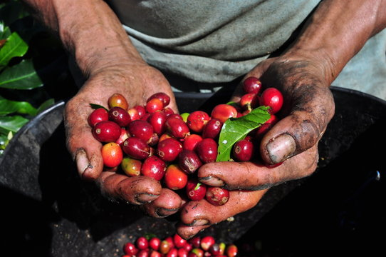 Coffee picking hands in the mountains of Colombia