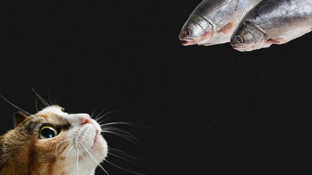Cat vs fish on black background. Copy space.
