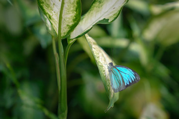 Blue Morph butterfly resting on a green leaf