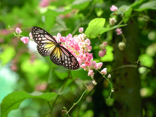 Yellow Glassy Tiger butterfly in a beautiful garden with pink flowers