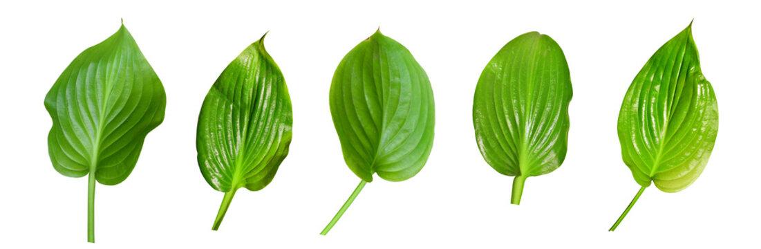 Set of hosta (plantain lily) leaves isolated on white background. Hosta plantaginea.