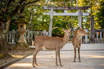 Poster Hert Cute Japanese deer in front of a Tori Gate, Nara park, Japan