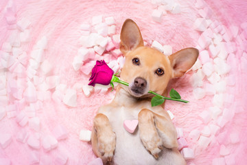 Wall Murals Crazy dog valentines wedding dog in love wit rose