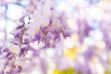 Wall Murals Spring Wisteria, always so spectacular.
