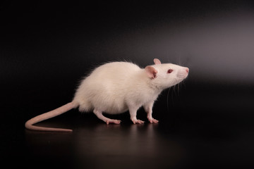 White furry rat