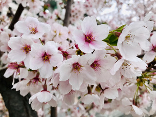 Close-up details of cherry Blossom or Sakura Flowers in the garden