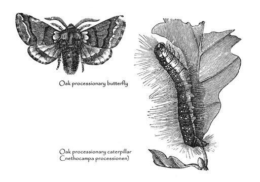 The oak processionary processional moth and caterpillar (Thaumetopoea processionea) Vintage illustration from Brockhaus Konversations-Lexikon 1908