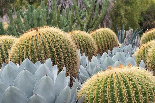 barrel cactus in the garden in Huntington garden Pasadena, California