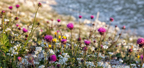 Alpine Thistles (Carduus defloratus) and other alpine flowers near the Three Peaks in the Dolomite Alps, South Tyrol, Italy