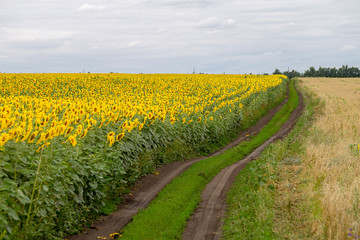 Fototapete - The country road along the yellow sunflower's field. Summer landscape: beautiful field yellow sunflowers.