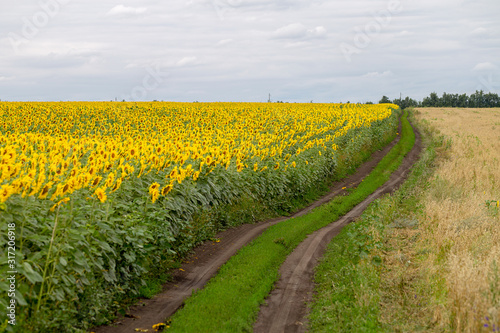 Fototapete The country road along the yellow sunflower's field. Summer landscape: beautiful field yellow sunflowers.