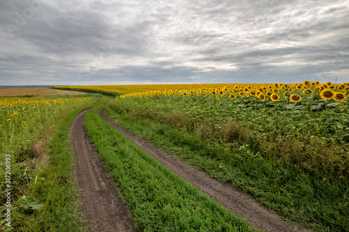 Fototapete The country road through the yellow sunflower's field. Summer landscape: beautiful field yellow sunflowers.