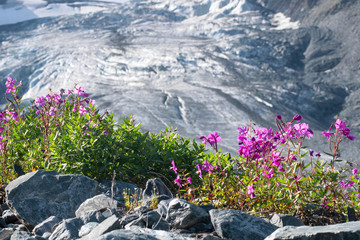 Foto op Canvas Donkergrijs Mountainous landscape. View at apine plants (Dwarf fireweed or Alpine fireweed) on the background of open glacier.