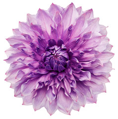 Fotobehang Dahlia dahlia flower purple. Flower isolated on a white background. No shadows with clipping path. Close-up. Nature.