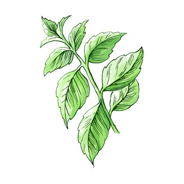 Watercolor mint. Hand drawn illustration of the fresh mint leaves.  Isolated on white background.