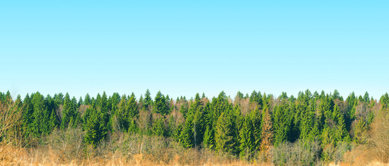 Panoramic top view of coniferous forest in early spring sunny day. Spruce forest, blue sky, spring landscape