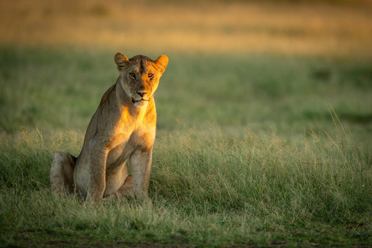 Lioness sits in tall grass watching camera