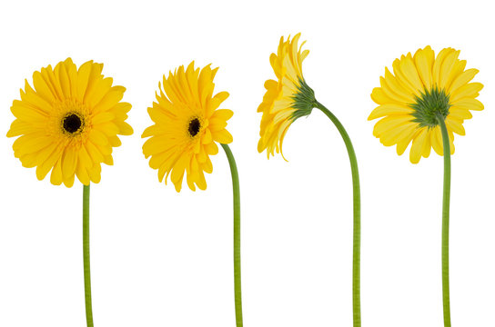 Isolated gerbera. Four yellow flower gerberas on a stem isolated on white background