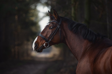 Foto op Canvas Paarden close up portrait of stunning trakehner gelding sport horse boy with white line on road in forest
