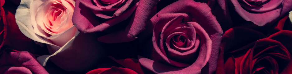 Red and pink roses. Floral background. Flowers closeup. Wediding and valentine. The rose petals.