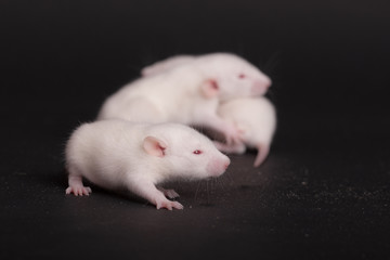 white babies rat closeup