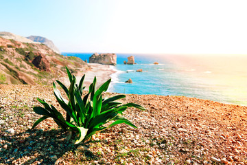 Foto auf AluDibond Zypern WIld plant near seashore and pebble beach by Petra tou Romiou rocks in Cyprus island, Greece
