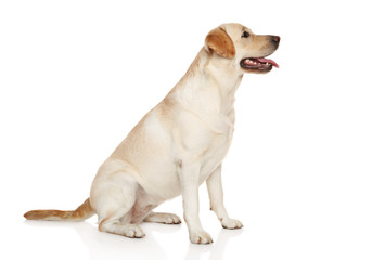 Labrador puppy sits on a white background