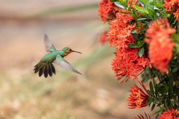 Foto auf AluDibond Hund Hondurasamazilie Kolibri im Flug freigestellt steuert auf rote Blüten zu in der Seitenansicht