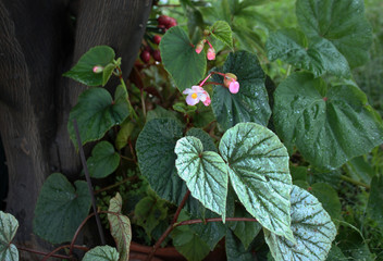 Begonias en flor en mi jardin