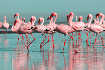 Poster Flamingo Wild african birds. Group birds of pink african flamingos walking around the blue lagoon on a sunny day