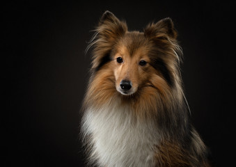 portrait of a dog on a black background. Pet on the dark. Sheltie in a photo studio