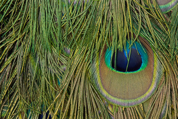 detail photo of the eye in a peacock feather