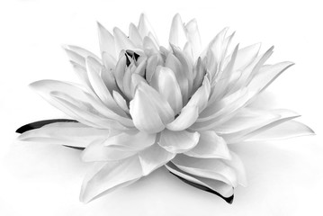 Garden Poster Lotus flower black and white flower