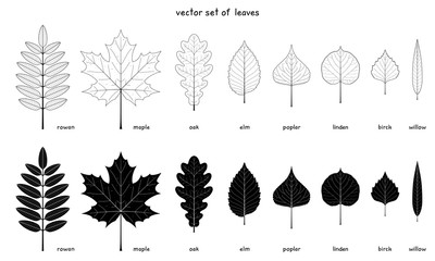 Vector set of autumn leaves. Elements of a various trees with detailed margins. Rowan, maple and oak. Elm, poplar, birch. American linden and willow leaves. Outlines and silhouettes. Black and white