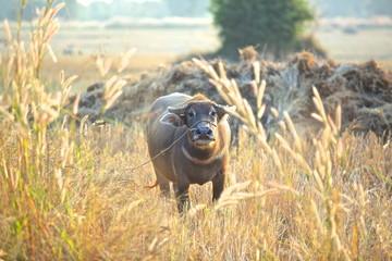 Poster Buffalo Black buffalo in yellow grassland.