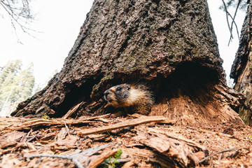 Marmots are relatively large ground squirrels with 15 species living in Asia, Europe and North America. They are the heaviest members of the squirrel family