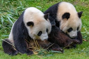 Giant pandas, bear pandas, mother and son together