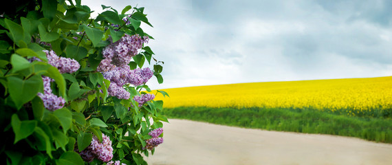 Wall Mural - panoramic view of Lilacs and a rapeseed field in the background