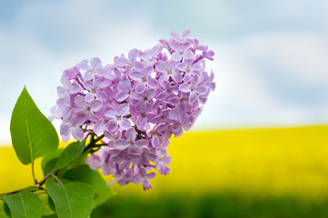Wall Mural - Lilacs and a rapeseed field in the blurred background