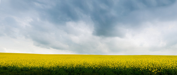 Wall Mural - panoramic view of Rape Field before the thunderstorm