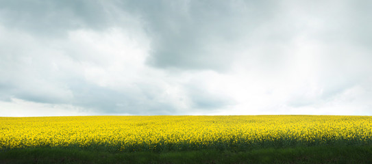 Wall Mural - panorama of flowering field of rapeseed